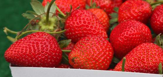 Cultivo orgânico de morango muda qualidade de frutos
