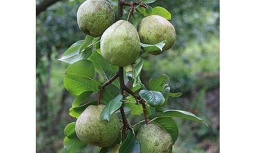 Produção orgânica de frutas