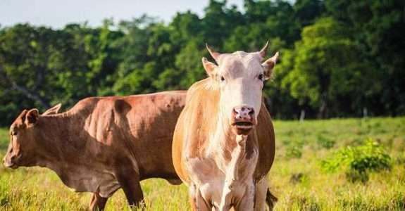 Potencial do bovino pantaneiro na produção de carne orgânica