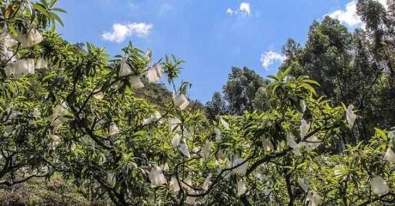 Ensacamento de frutos, danos causados por fatores bióticos e abióticos em macieira