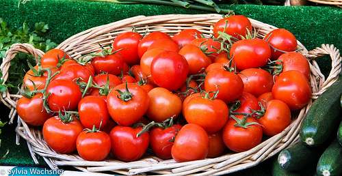Tomates produzidos com coentro sob irrigação por aspersão e gotejamento