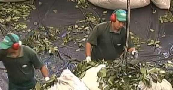Conheça a maior produção de erva mate orgânica do Brasil