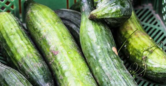 Mudas de Pepino em substratos de fibra de coco verde com biofertilizante
