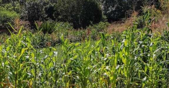 Consorcio de milho e acuna anã visando manejo sustentável