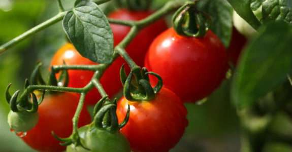 Bioestimulantes como alternativa livre de agrotóxicos para fortalecer plantas