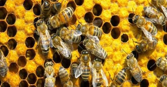 Consequências a longo prazo de neonicotinóides para abelhas e aves
