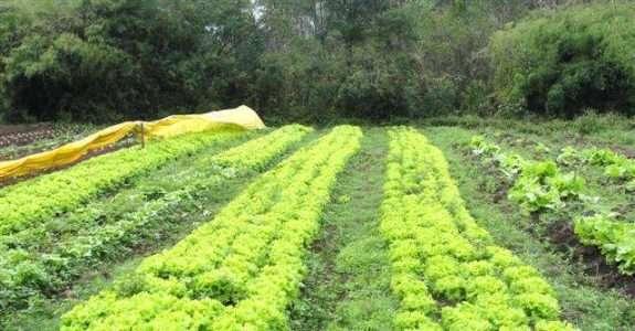 Produção orgânica de mudas de alface em Minas Gerais