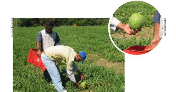 Mini melancia: orgânica é mais saborosa