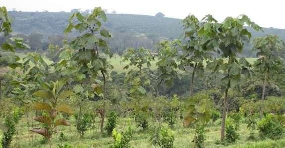 Fazenda mostra viabilidade da agrossilvicultura de grande escala