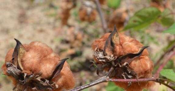 Produção de algodão colorido: possibilidades e limitações