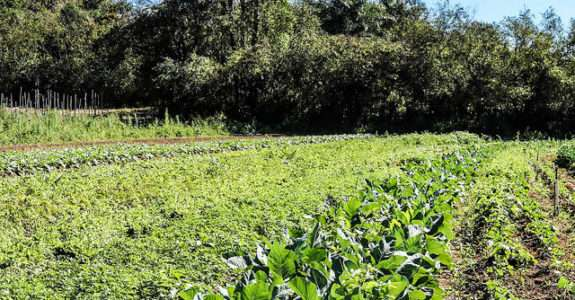 Adubação verde na produção orgânica, alface americana e repolho