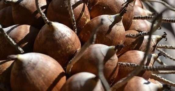 Ciência desenvolve melhorias na fabricação de produtos de babaçu