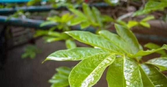 IBD aprova primeiro adjuvante sustentável para a agricultura orgânica