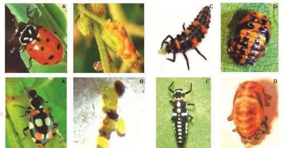 Embrapa publica guia para identificação de inimigos naturais de pragas em cultivos de hortaliças