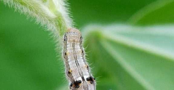 Óleo de manjericão apresenta potencial para controlar lagartas